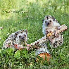 "Hedgehogs:  ""A Wooden See-Saw ~ In A Clover Field.""   (Photo By: © Elena Eremina on 500px.)"