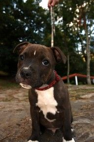 How To Train A Pitbull Puppy (Video). Our new website about Pit-Bulls. Like us on Facebook...http://searchlocated.com/pitbulls