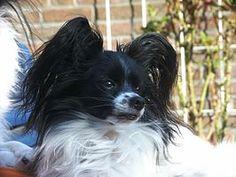 Vlinderhondje of épagneul nain continental Belgisch-Frans hondenras