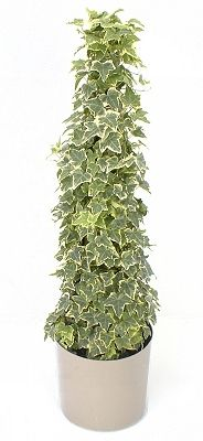 In northern areas, English Ivy is used as a ground cover or allowed to climb walls on Ivy League schools and private homes alike. Description from okeechobee.ifas.ufl.edu. I searched for this on bing.com/images