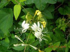 **copyright Cynthia Pilcher 2012** —Synonyms— Dutch Honeysuckle. Goats' Leaf. (French) Chèvre-feuille. (German) Geisblatt. (Italian) Capri-foglio. —Parts Used— Flowers…