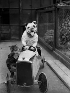 Dog and Cat Car Impressão fotográfica