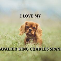 Cavalier King Charles Spaniel – Graceful and Affectionate John Wesley, Mahatma Gandhi, Dalai Lama, Dog Loss Quotes, Dog Quotes Love, Calvin And Hobbes, Best Dog Food, Best Dogs, Cavalier King Charles Spaniel