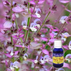 Tinderbox, a trusted Australian supplier of quality aromatherapy resources, has been sourcing pure essential oils from across the world since Clary Sage Essential Oil, Pure Essential Oils, Blue Glass Bottles, Oily Hair, Smudge Sticks, Salvia, Massage Oil, Wild Hearts, Geraniums