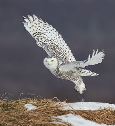 Snowy Owl by © Fred Lemire Quebec, Canada