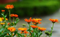 The parting flower Calendula officinalis HD wallpaper 2 Wallpapers