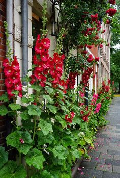 Hollyhocks Garden Borders, Garden Paths, Garden Landscaping, Exotic Plants, Exotic Flowers, Perrenial Flowers, Hollyhock, Vintage Planters, The Great Outdoors