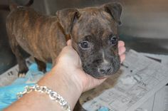 142148 ODIE Male Pit Pup 8 weeks old  https://fundrazr.com/campaigns/9nsTc/ab/61VcX1?  These animals are at Clayton County Animal Control at 1396 Government Circle Jonesboro, GA 30236. For help with rescue coordination, please email jmpartnersccac@gmail.com, https://www.facebook.com/photo.php?fbid=801074976578207set=a.511463058872735.129181.339511346067908type=3theater