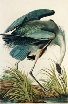 A print from James John Audubon's Birds of America, Blue Heron