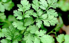Nombre científico o bien latino: Coriandrum sativum Nombre común o bien vulgar: Cilantro, Coriandro, Perejil chino, Perejil árabe, Culantro, Anisillo,