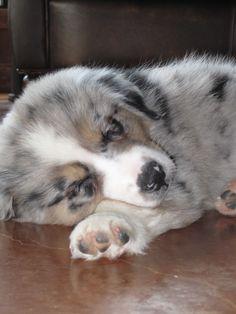 Best Australia Chubby Adorable Dog - 4a34eb2416f53cc3b4206a03b79dabc5--aussie-puppies-australian-shepherd-puppies  Collection_223295  .jpg