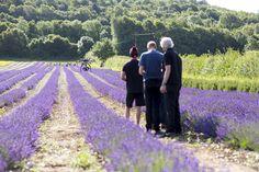 Lavender Season 2014 - The Hop Shop