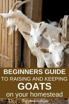 Thinking of getting a couple of pet goats or starting to raise goats? This beginner's guide to raising goats gives you the information you need. #goats #raisinggoats #goats101 Breeding Goats, Raising Goats, Baby Goats, Livestock, Homesteading, Couple, Pets, Animals, Animales