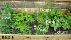 Peas and beans in early June garden.