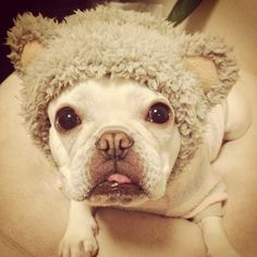 Noel, the French bear dog Source Little Dogs, Big Dogs, French Bulldogs, English Bulldogs, Funny Faces, Puppy Love, Pugs, Dog Cat, Bullies