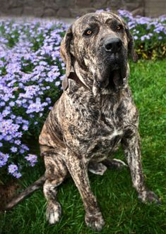 We love our baby Goldie. :) Fila Brasileiro (Brazilian Mastiff) Standing Watch In Front of Home And Flowerbed Best Guard Dog Breeds, Best Guard Dogs, Giant Dog Breeds, Giant Dogs, Large Dog Breeds, Best Dogs, Best Big Dog Breeds, Mastiff Breeds, Mastiff Dogs