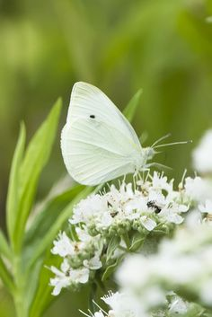 Cabbage White Butterfly. I always heard that when you see a white butterfly it means someone in Heaven is thinking of you!!! Love this!!!