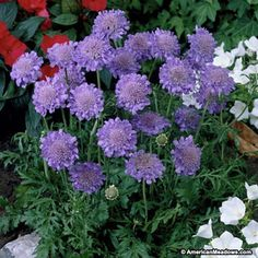 Butterfly Blue Pincushion Flower planted May 2016...front stairway planter.