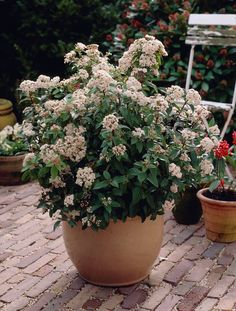 Viburnum Tinus. Tall shrub, although shorter in pot. Evergreen. FLowering winter / spring. More sun = more flower