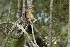 Mangrove Forest, Wild Male Proboscis Monkey, Brunei, Borneo