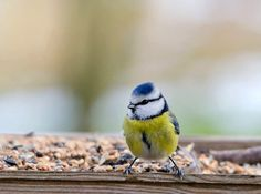 Blue tit.. by Ferenc Hoffman on 500px