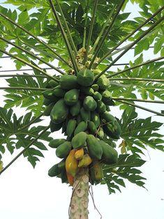 Amazon.com : Mexican Papaya (Carica papaya) Tropical Fruit Tree : Garden & Outdoor