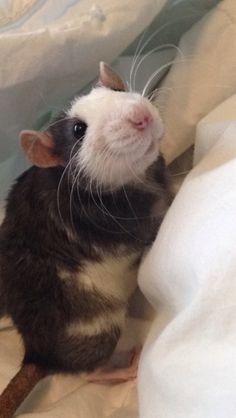 Fancy Rat:Smol Friend