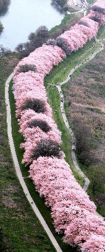A tunnel of cherry trees in blossom at the point where the Kizu-ku, Uji, and Katsura Rivers join, in Kyoto, Japan
