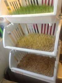 My simple laundry sink fodder growing setup. I may want to try this for my next attempt of keeping chickens.