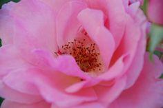 Rose Detail Detail, Rose, Plants, Nature, Roses, Plant, Planting, Planets