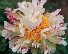 ~Crazy Daisy - Early Lactiflora, single, white, Cactus dalhia type, flower of lime green and white base, with raspberry streaking and edging, puffy, crazy flowers, slight fragrance, good stem strength, good substance, 0-2 side buds, pollen, (Roy G. Klehm, USA, 1995).