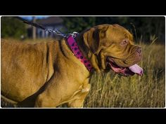 "Dogue de Bordeaux looks fantastic in ""Thorn Kick"" Pink Leather Dog Collar with Spikes Bordeaux Dog, Leather Dog Collars, Spikes, Pink Leather, Kicks, Dogs, Animals, Dogue De Bordeaux, I Love"
