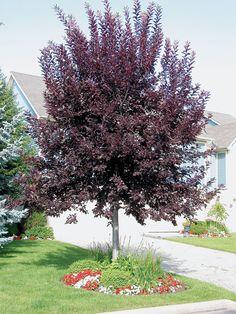 Canada Red Chokecherry ?Prunus virginiana 'Canada Red' | Product Tags | J.C. Bakker Nurseries