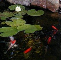 Goldfish pond on pinterest pond waterfall koi fish pond How to build a goldfish pond