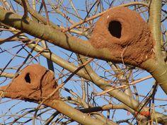 Fotos de Natureza: Casa do João de Barro Plant Fungus, Nest Design, Bird Cage, Beautiful Birds, Bird Houses, Animals And Pets, Bird Nests, Outdoor Decor, Beetle
