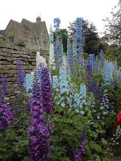 Cotswold Farm- These Delphiniums are spectacular.