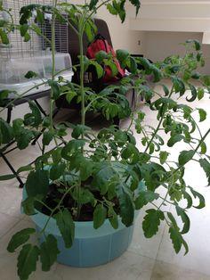 30/04/15 Siguen un poco tristes algunas plantas de jitomates, ya las cambiamos de lugar para que no les pegue el sol.
