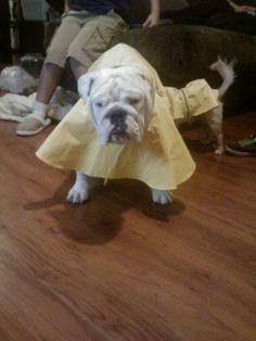 Bulldogs raincoats