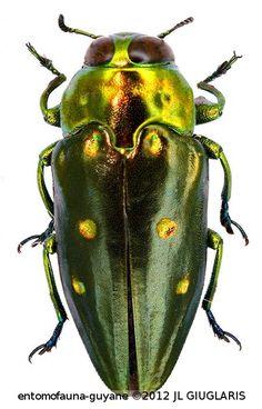 Chrysobothris sexpunctata