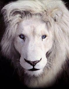Albino Lion ✿⊱╮