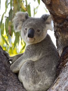 I used to be obsessed with koalas