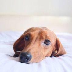 Is it bedtime yet? Weenie Dogs, Dachshund Puppies, Beagle Dog, Dachshund Love, Daschund, Scottish Terrier, Baby Dogs, Pet Dogs, Miniature Dachshunds