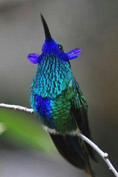 Violet-Ear Humming bird.