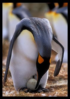Emperor Penguins Egg