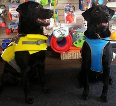 These two were shopping for some summer gear and look mighty fine! The beauty on the left is wearing a life vest and the one on the right was fitted for a Cooling Coat. We're sure they'll be cool, safe, healthy and happy as they beat the summer heat!   #cutecustomers   #summersafety #love #PetLove   #GlobalPetFoods #Canada   #thankyouforshopping