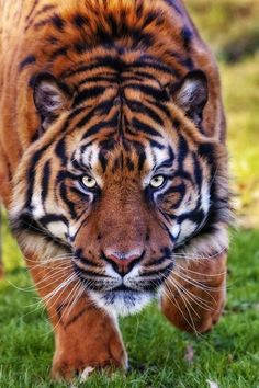 Are you talking to me? ~~Intensity ~ male Sumatran tiger by bigcatphotos UK~~ Beautiful Cats, Animals Beautiful, Cute Animals, Chat Lion, Gato Grande, Tiger Tattoo, Small Cat, Bengal Tiger, Siberian Tiger