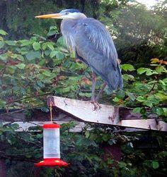Blueheron - My Huge Hummingbird :)