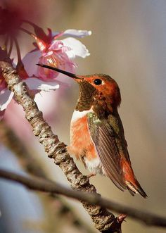 ^Rufus Hummingbird