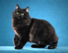 black ragamuffin cat - Google Search Rare Cat Breeds, Rare Cats, Cats And Kittens, Kitty Cats, Manx Kittens, Cymric, Cool Cats, Ragamuffin Cat, Manx Cat