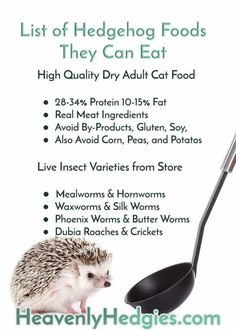 Combined expert opinions from hedgehog breeders and educators helped to form this hedgehog safe food recipes page to help you feed your hedgie. Hedgehog Supplies, Hedgehog Food, Hedgehog Care, Pygmy Hedgehog, Hedgehog House, Baby Hedgehog, Hedgehog Facts, Hedgehogs Pet Care, Frases